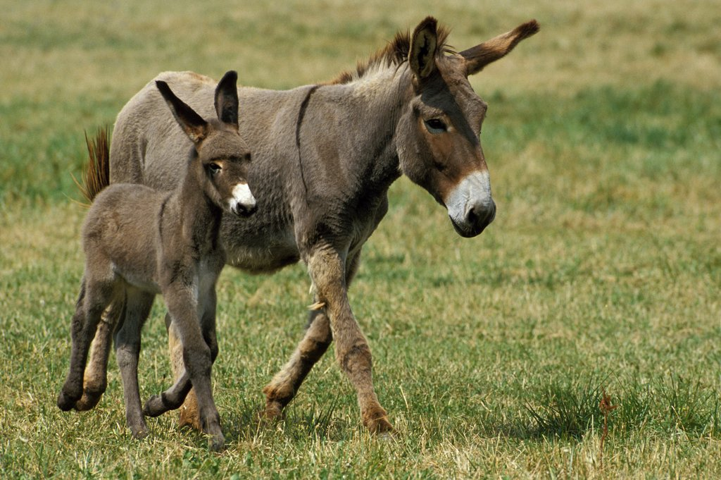 Stock Photo: 4273-9426 French Grey Donkey, Jenny And Foal