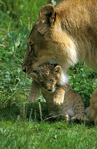 Stock Photo: 4273-9902 African Lion, Panthera Leo, Female Carrying Cub