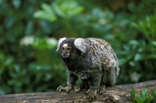 Stock Photo: 4273-9970 Common Marmoset, Callithrix Jacchus, Adult Standing On Branch