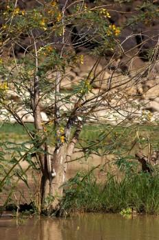 Balsa wood tree aeschynomene elaphroxylon trees at for How to calculate board feet in a tree