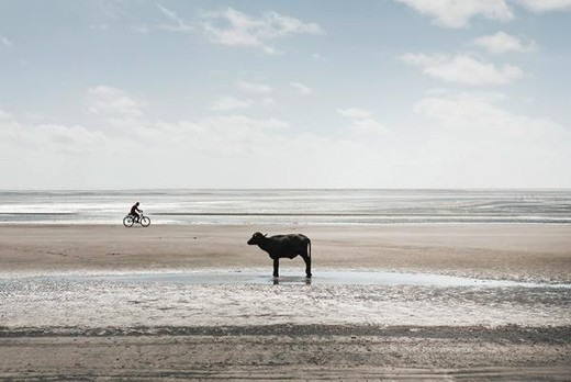 Stock Photo: 4276-5318 South America, Amazon, calf standing on beach, person riding bicycle in background