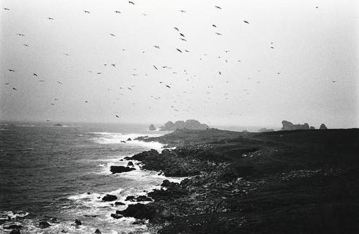 Stock Photo: 4276-8769 Birds flying over rocky coast, b&w