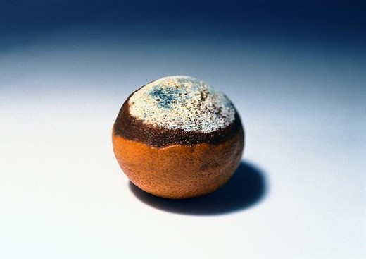 Stock Photo: 4276-8874 Moldy orange