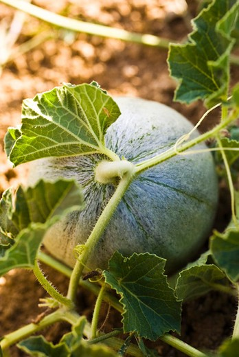 Melon growing on vine : Stock Photo