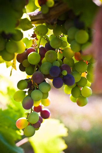 Stock Photo: 4277-2104 Grapes growing on vine