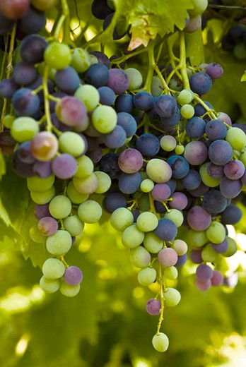 Stock Photo: 4277-2113 Grapes growing on vine