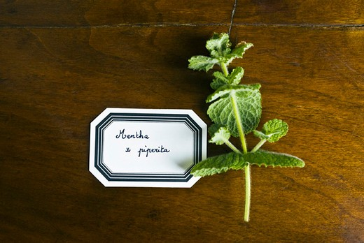 Fresh peppermint sprig : Stock Photo