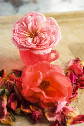 Roses and rose petals : Stock Photo