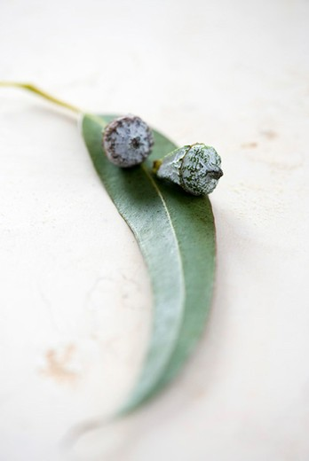 Stock Photo: 4277-2652 Flower buds with leaf of eucalyptus plant