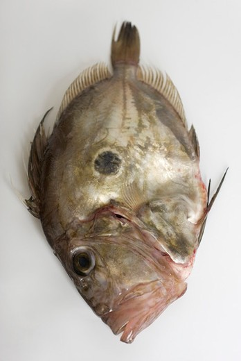 Fresh raw John Dory (zeus faber) : Stock Photo