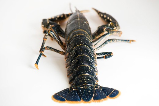Stock Photo: 4277-2802 Fresh lobster