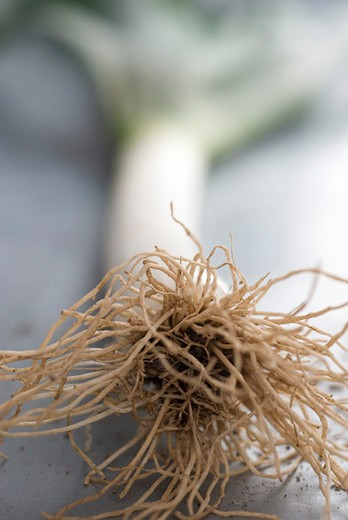 Stock Photo: 4277-3024 Roots of fresh leek, close-up