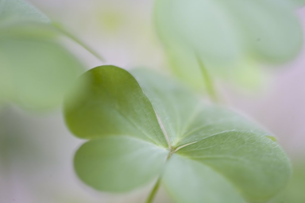 Stock Photo: 4278-1173 Close up of clovers
