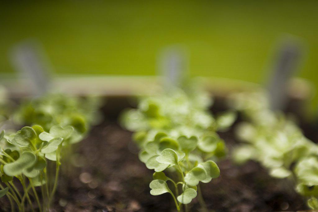 Stock Photo: 4278-1728 Spring seedling of organic herbs