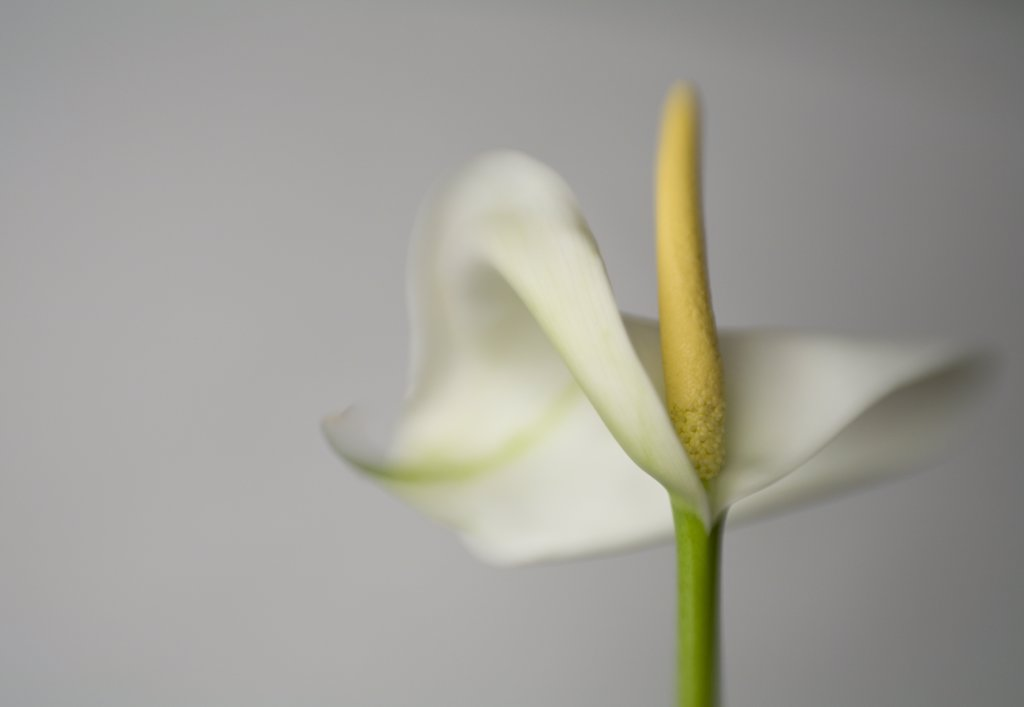 Arum lily         Zantedeschia aethiopica : Stock Photo