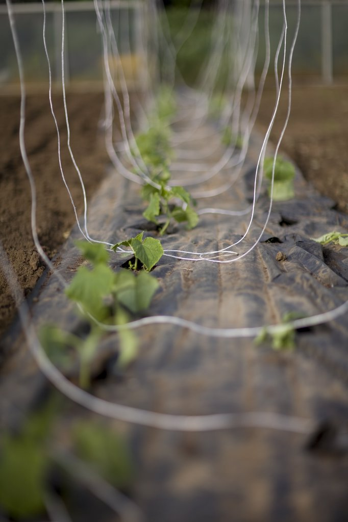 Plants seedlings with climbing strings : Stock Photo