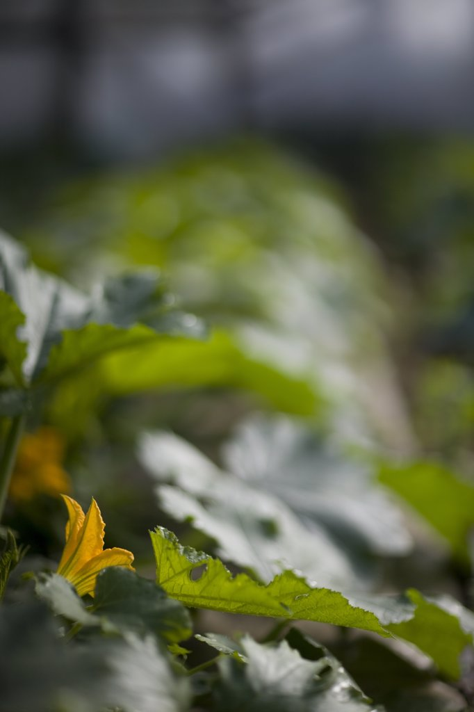 Close up of courgette leaves and flower : Stock Photo