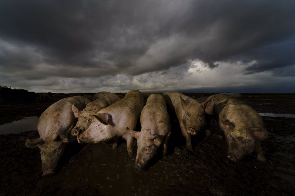 Pigs wallowing in filth : Stock Photo