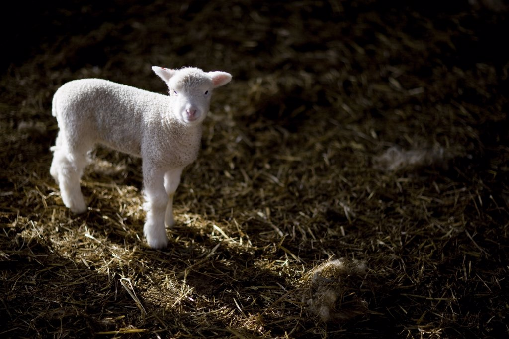 Stock Photo: 4278-2111 Portrait of lamb