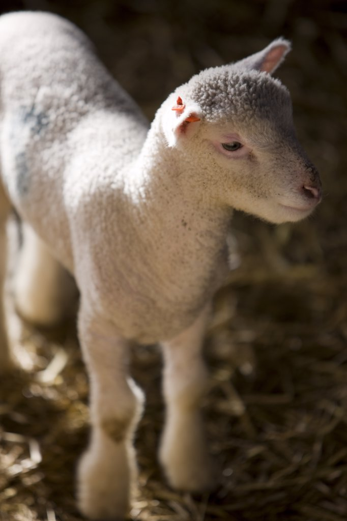 Stock Photo: 4278-2117 Close up of lamb
