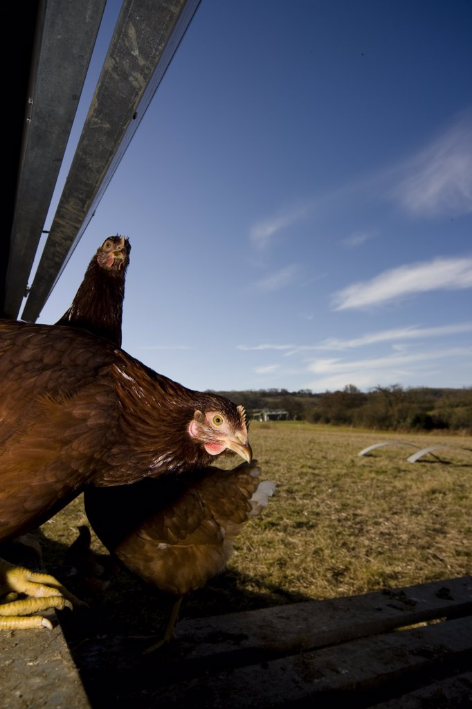 Chickens roaming outside : Stock Photo