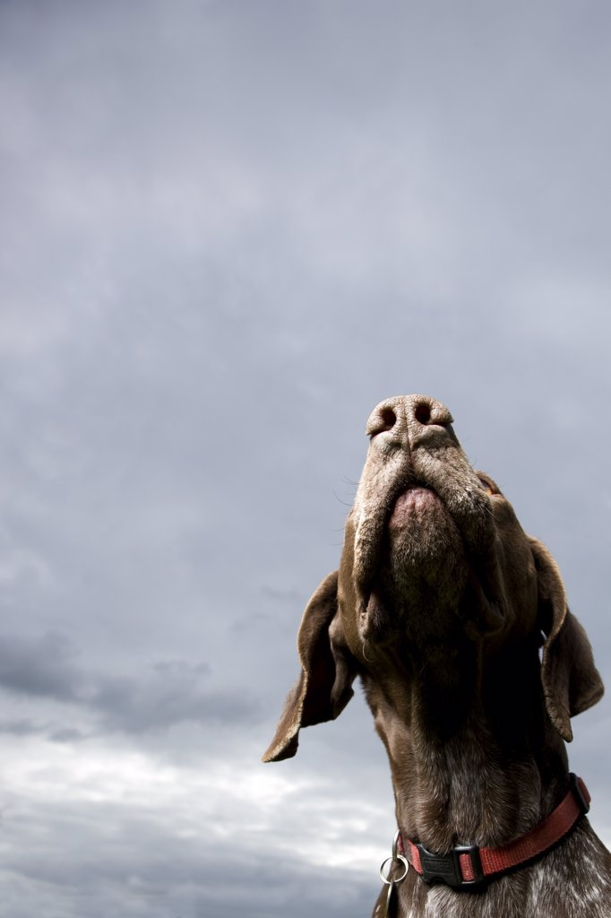 Close up of a German short hair pointer dog : Stock Photo