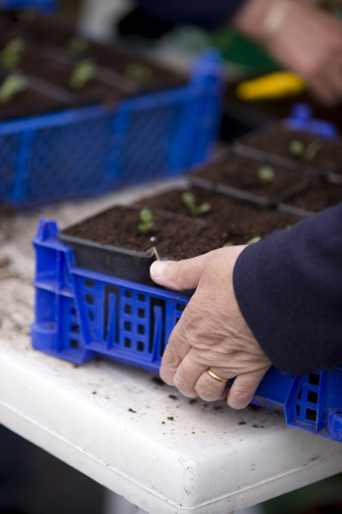 Stock Photo: 4278-2934 Close up of woman hands holding a plastic crate with seedling pots