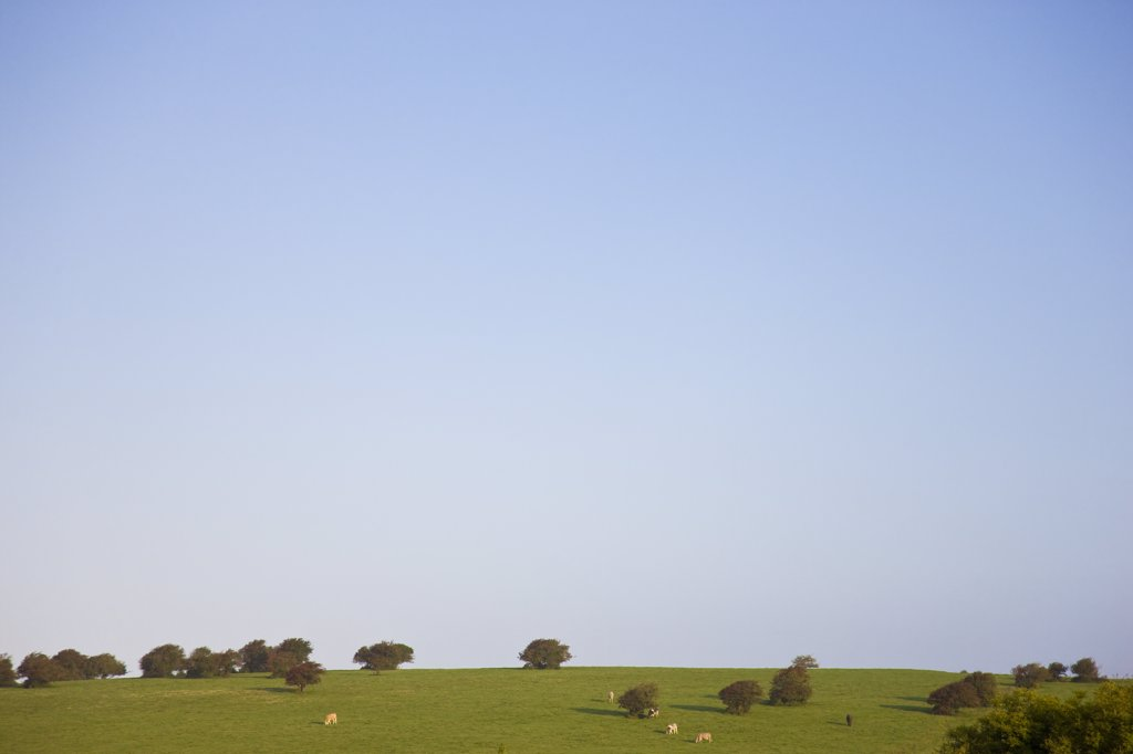 Stock Photo: 4278-4151 Cows grazing