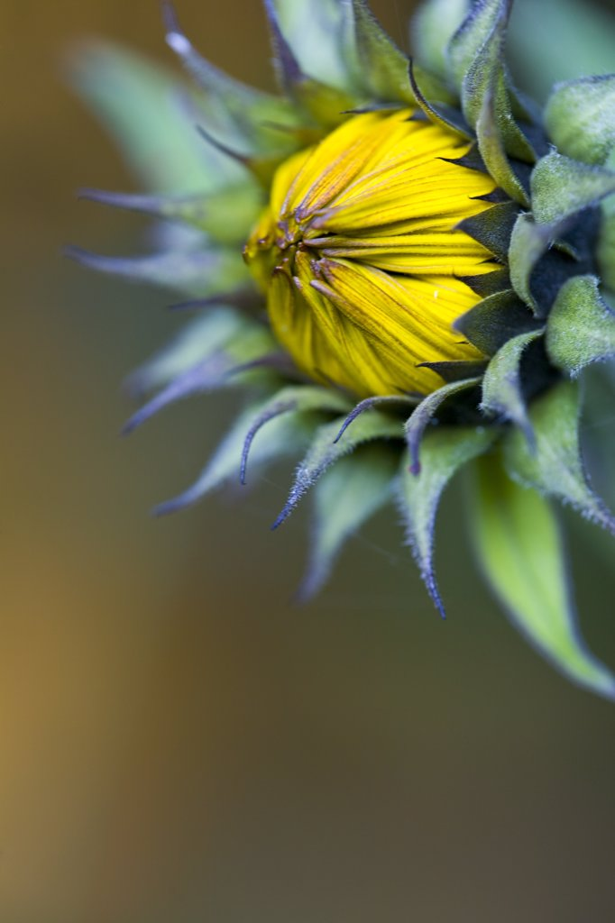 Close up of a sunflower bud - Helianthus annuus : Stock Photo