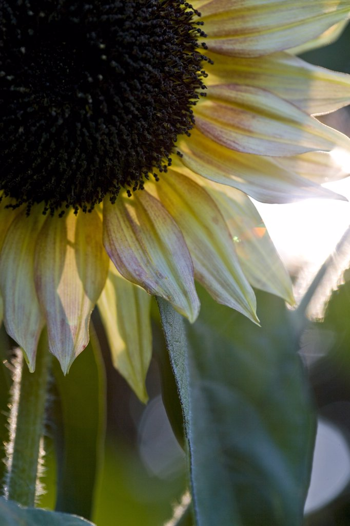 Stock Photo: 4278-4227 Close up of a sunflower - Helianthus annuus