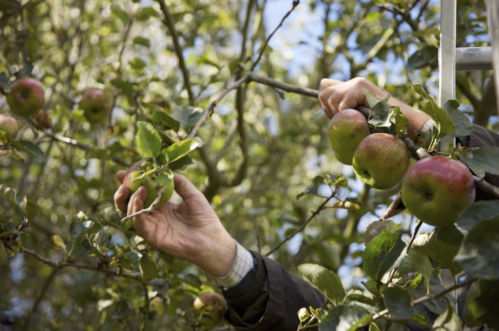 Close up of a man hands picking apples : Stock Photo