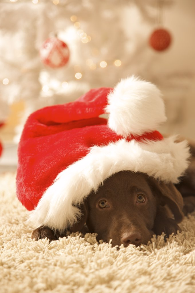 Dog lying in front of a Christmas tree wearing a red and white hat : Stock Photo