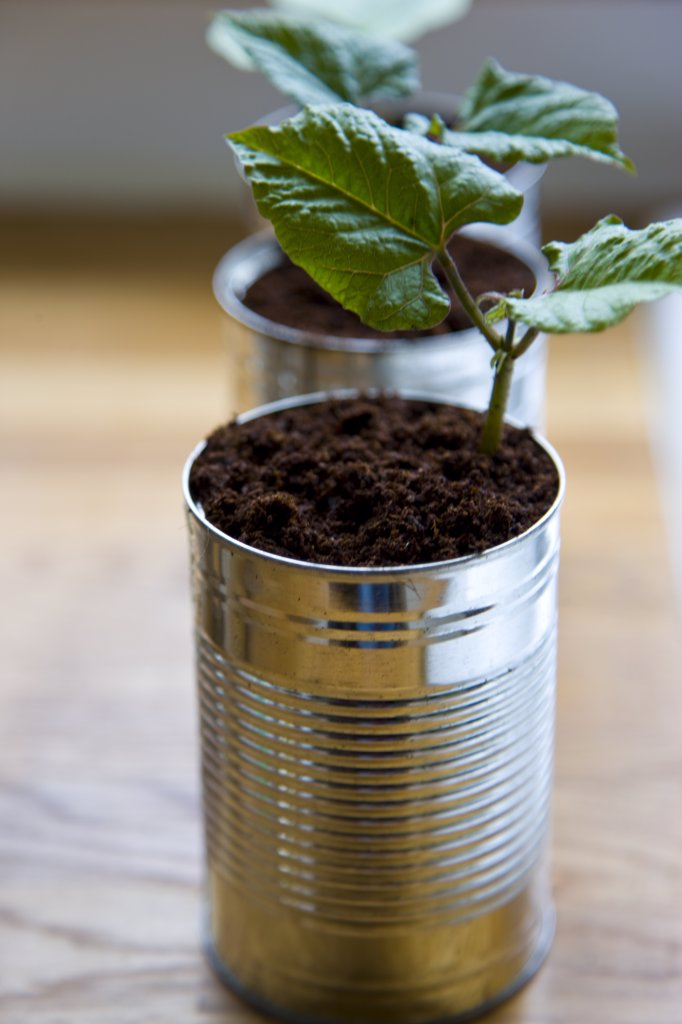 Recyclable tin cans with bean seedlings : Stock Photo