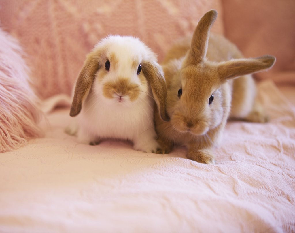 Stock Photo: 4278-7149 Two Rabbits on Pink Sofa