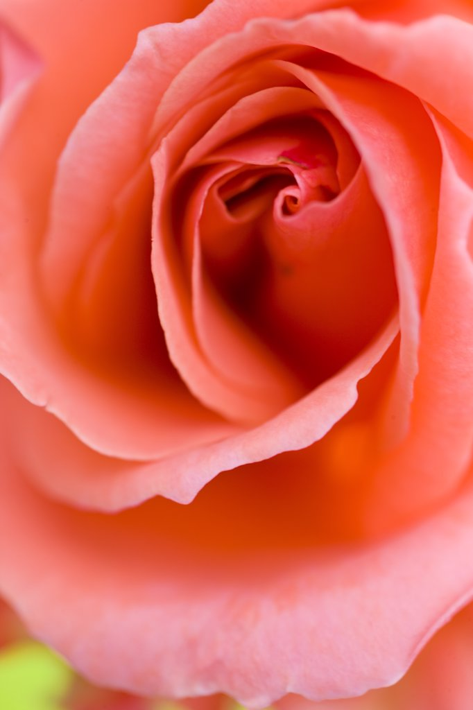 Stock Photo: 4278-7233 Extreme close up of a pink rose