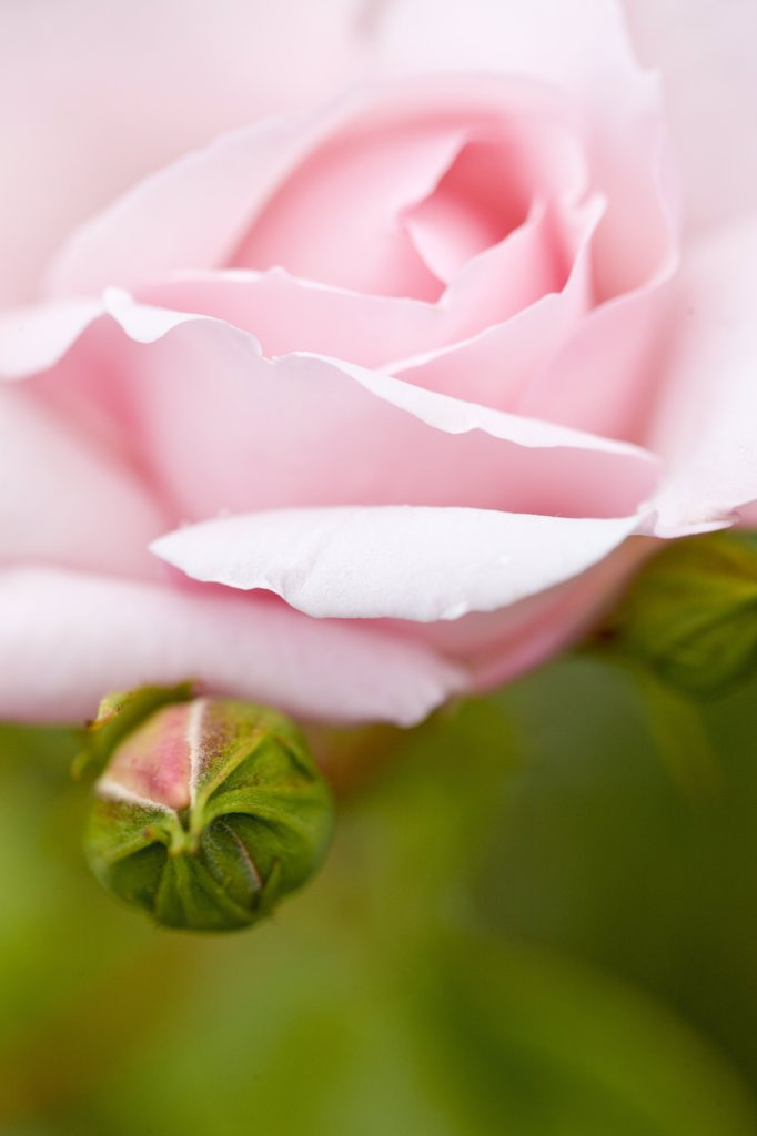 Stock Photo: 4278-7249 Close up of a pink rose