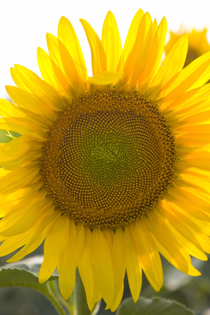 Sunflower, Close-up view : Stock Photo