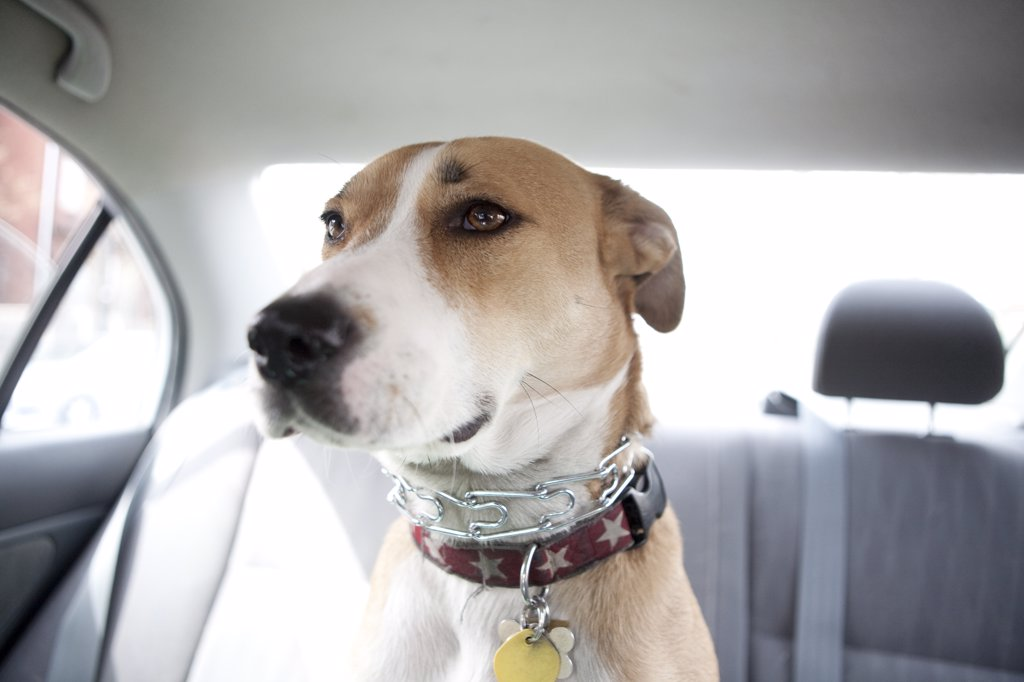 Dog Sitting in Car Back Seat : Stock Photo