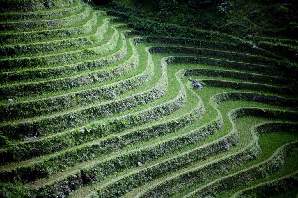 Stock Photo: 4278-9209 Rice Terraces