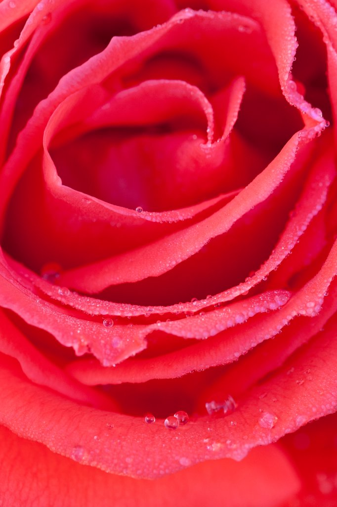 Stock Photo: 4278-9879 Rain Drops on Red Rose Petals