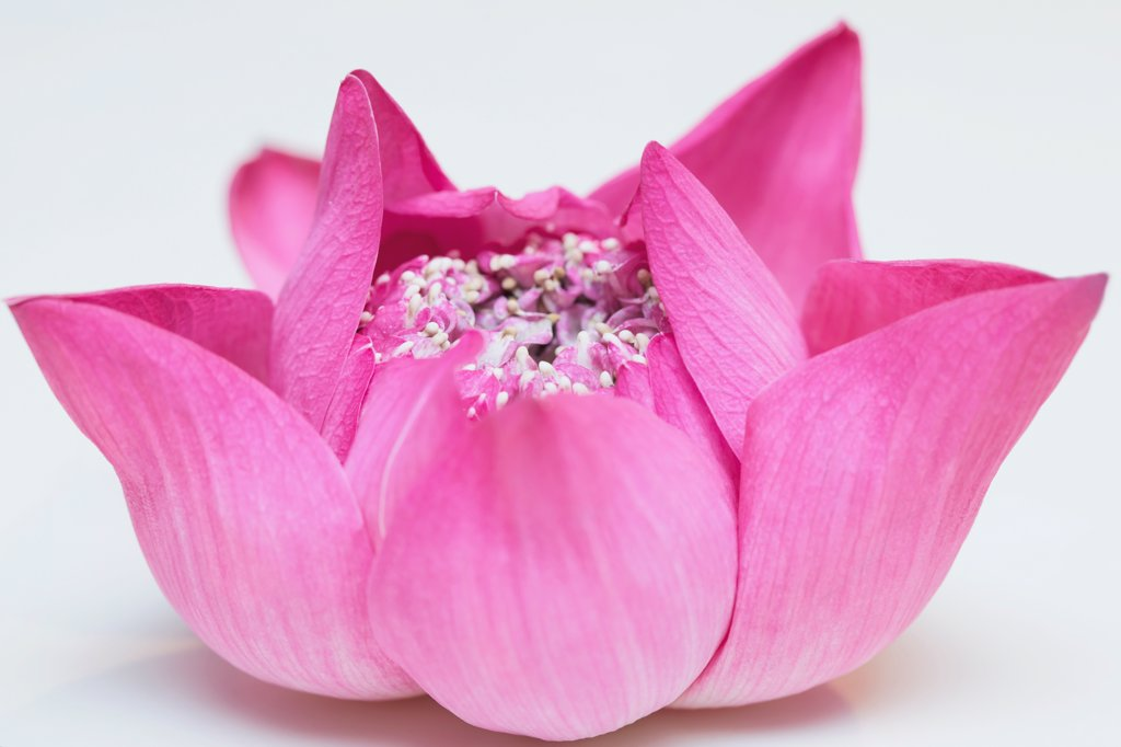 Stock Photo: 4278-9889 Bright Pink Lotus Flower