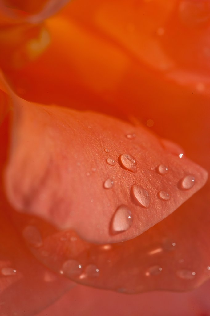 Stock Photo: 4278-9925 Rain Drops on Orange Rose Petals