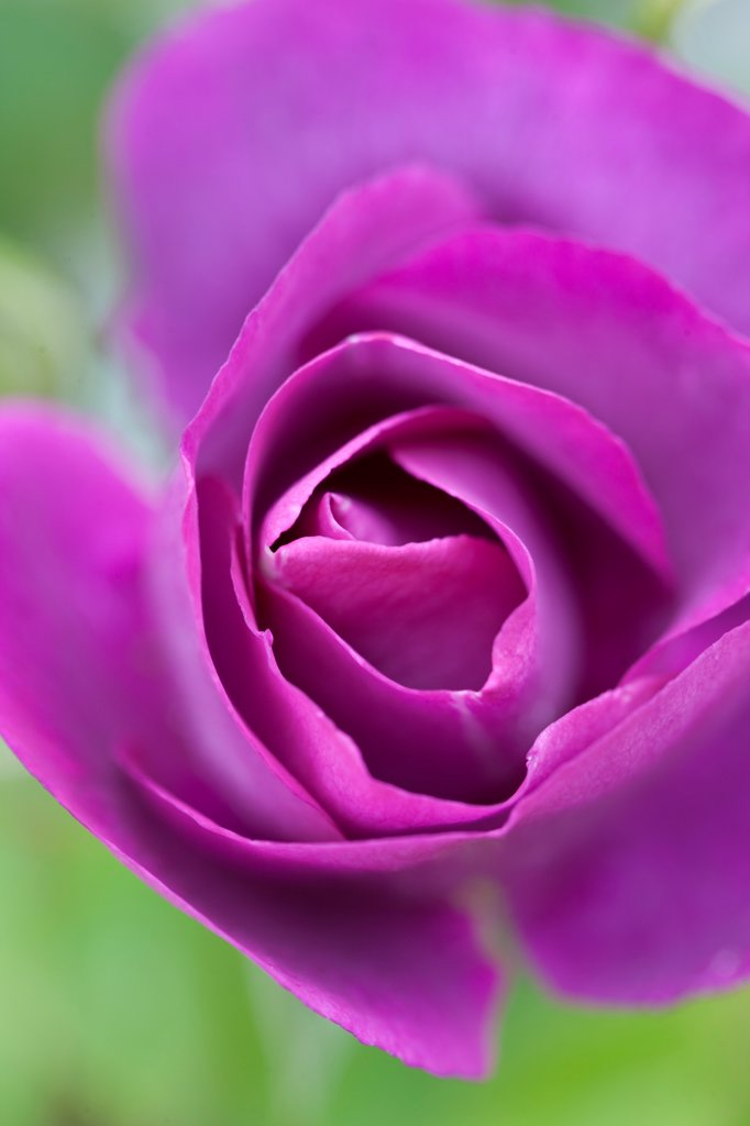 Bright Purple Rose : Stock Photo