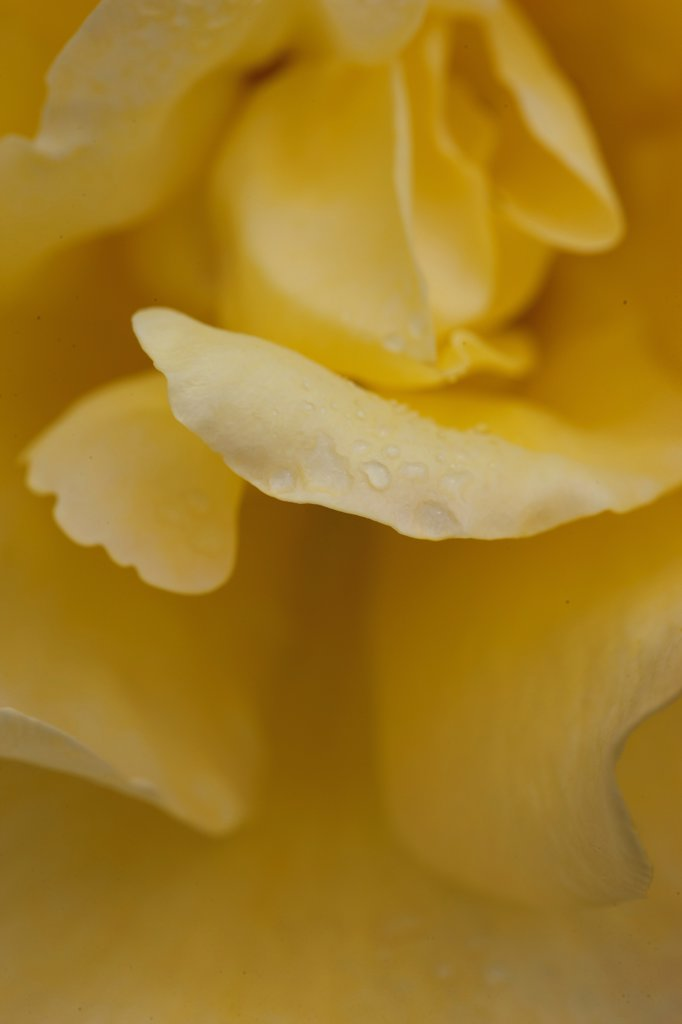 Stock Photo: 4278-9930 Yellow Rose
