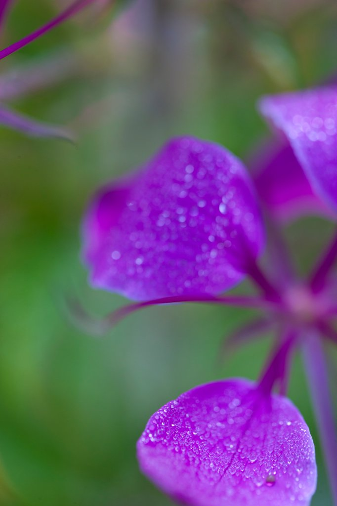 Purple Flower Petals : Stock Photo