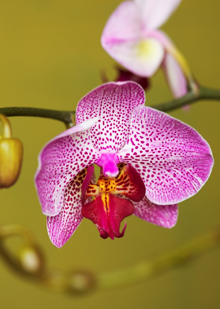 Stock Photo: 4278-9947 Bright Pink Orchid