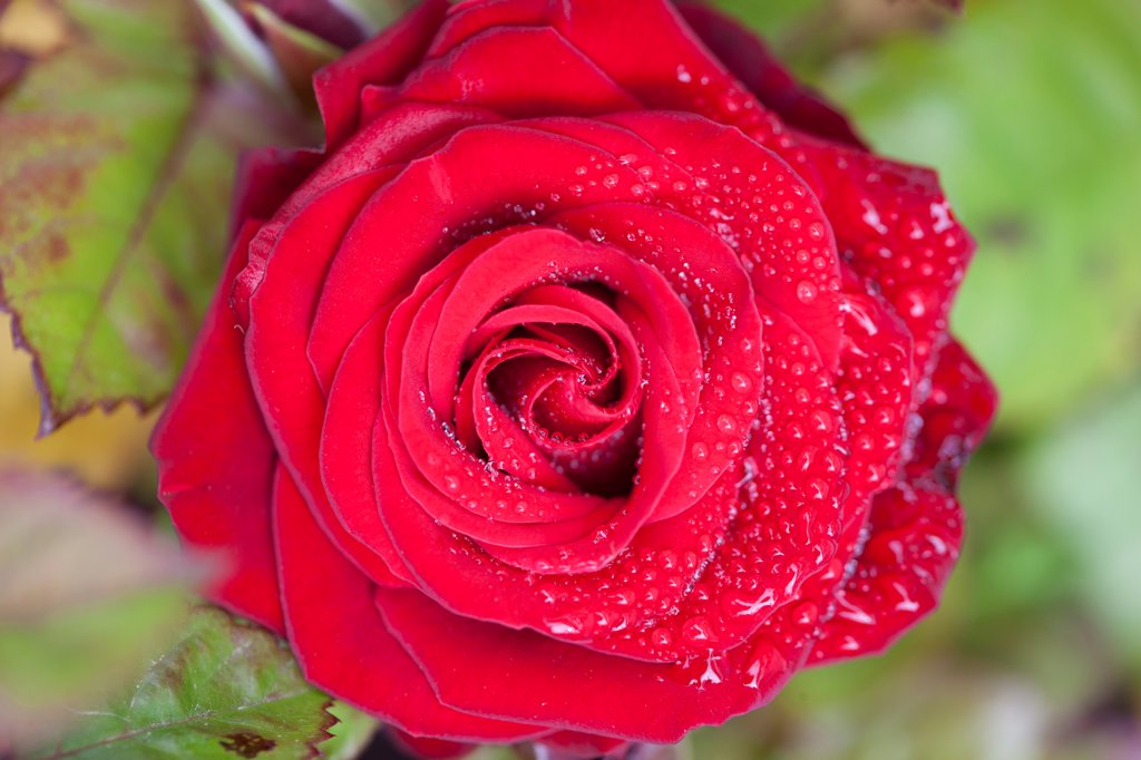 Stock Photo: 4278-9949 Red Rose with Rain Drops