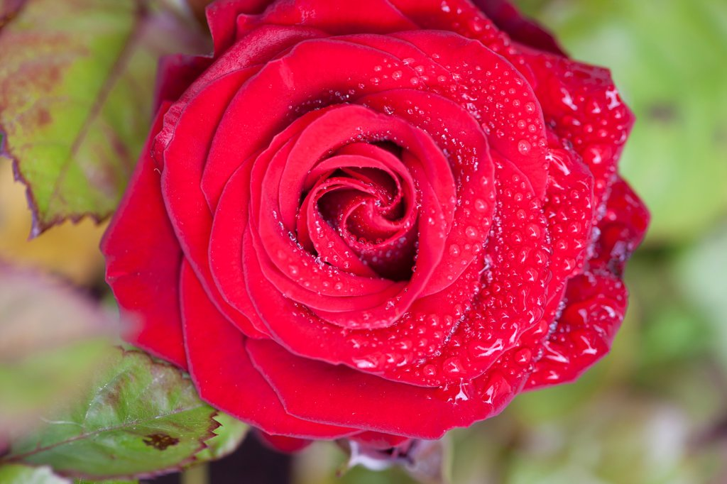 Stock Photo: 4278-9950 Red Rose with Rain Drops