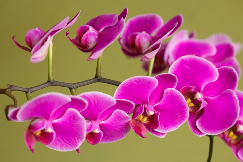 Stock Photo: 4278-9960 Bright Pink Orchids