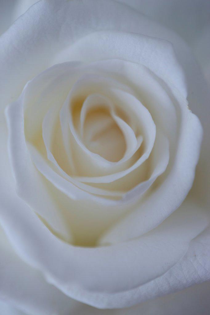 Stock Photo: 4278-9974 White Rose